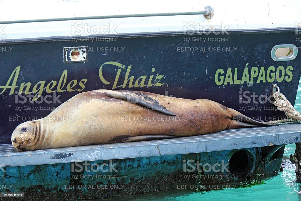 Sea Lion, Galapagos, Ecuador stock photo