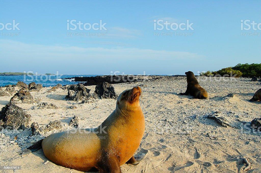 Sea Lion - Galapagos stock photo
