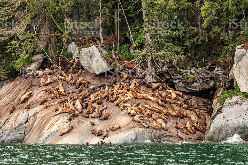 Sea Lion Haulout stock photo