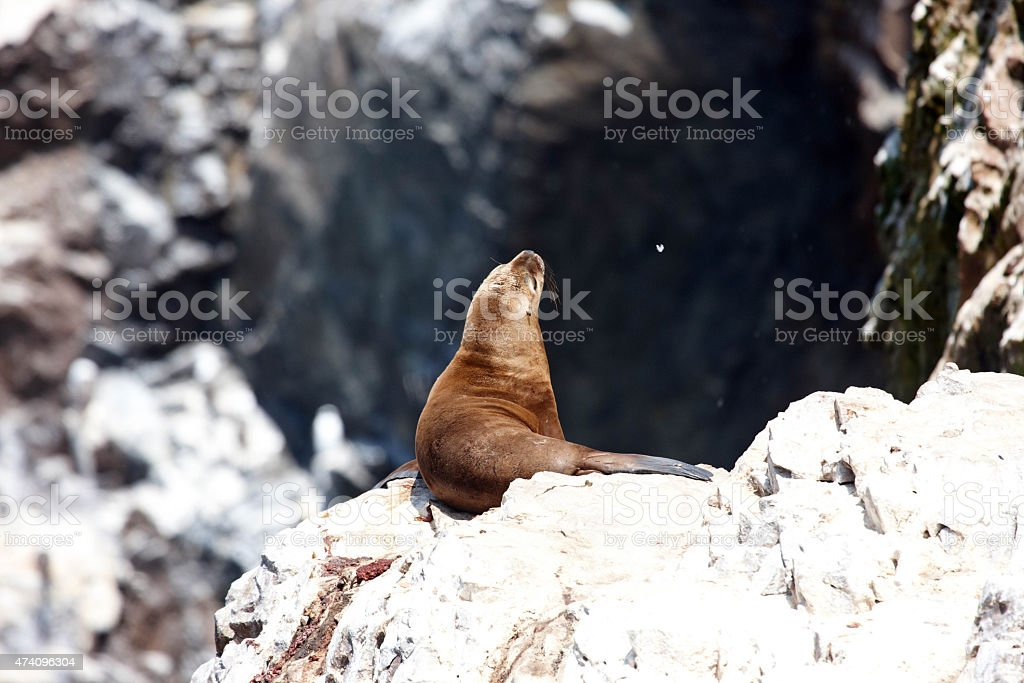 Sea lion in rocky cave on Ballestas Islands stock photo