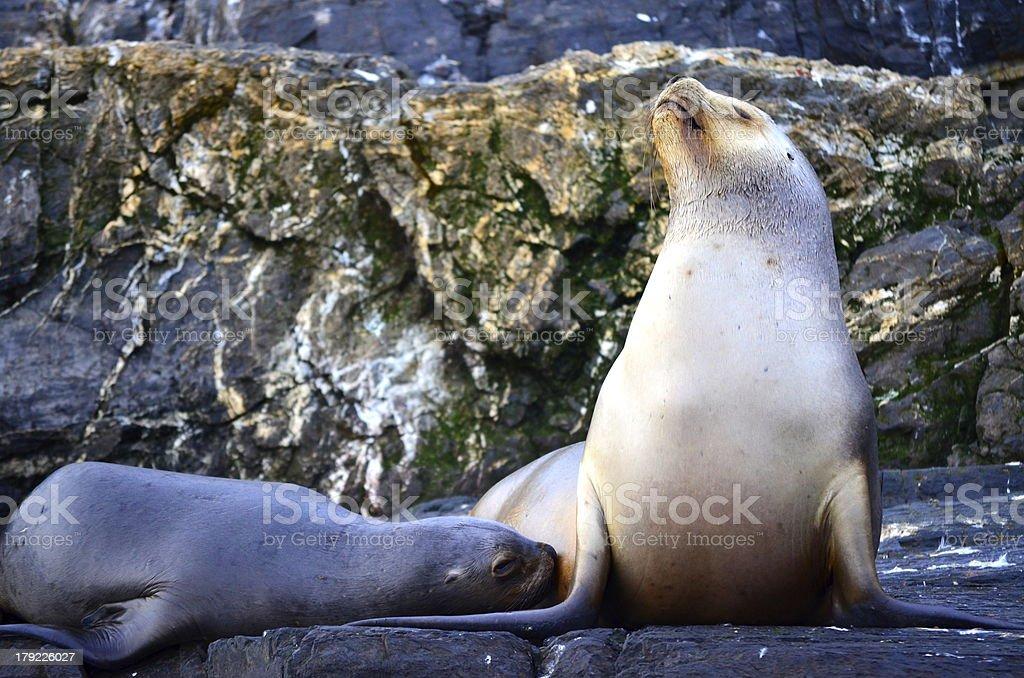 Sea lion Mutter stillen Ihre Babys Lizenzfreies stock-foto