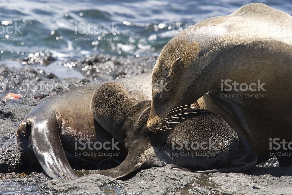 Sea Lion mother stock photo