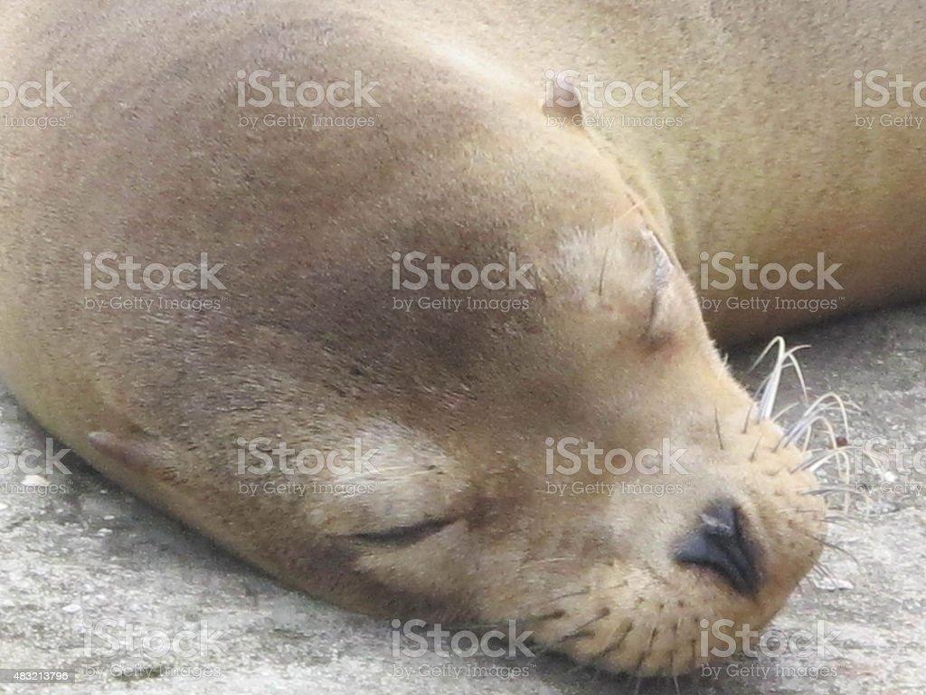 Sea Lion Nap Time stock photo