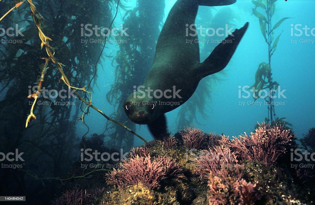 Sea lion near seaweed underwater in California stock photo
