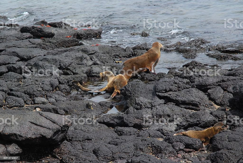 Sea Lion Nursery with Adult and 3 youth royalty-free stock photo