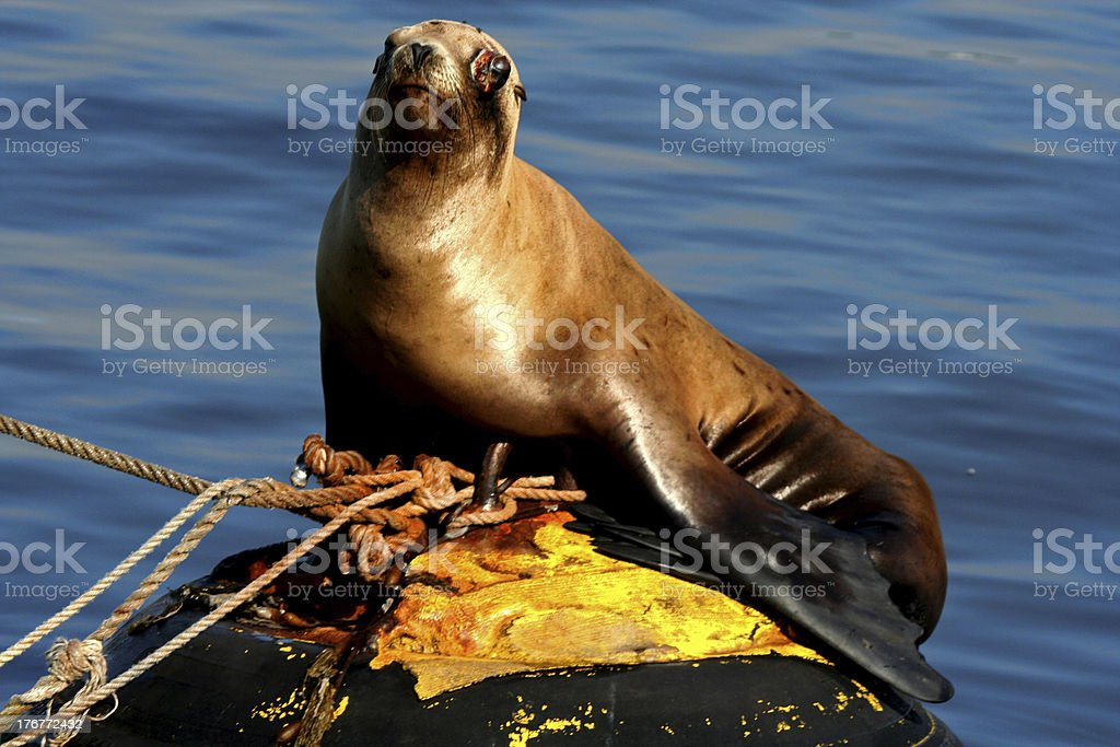 Sea Lion On A Buoy royalty-free stock photo