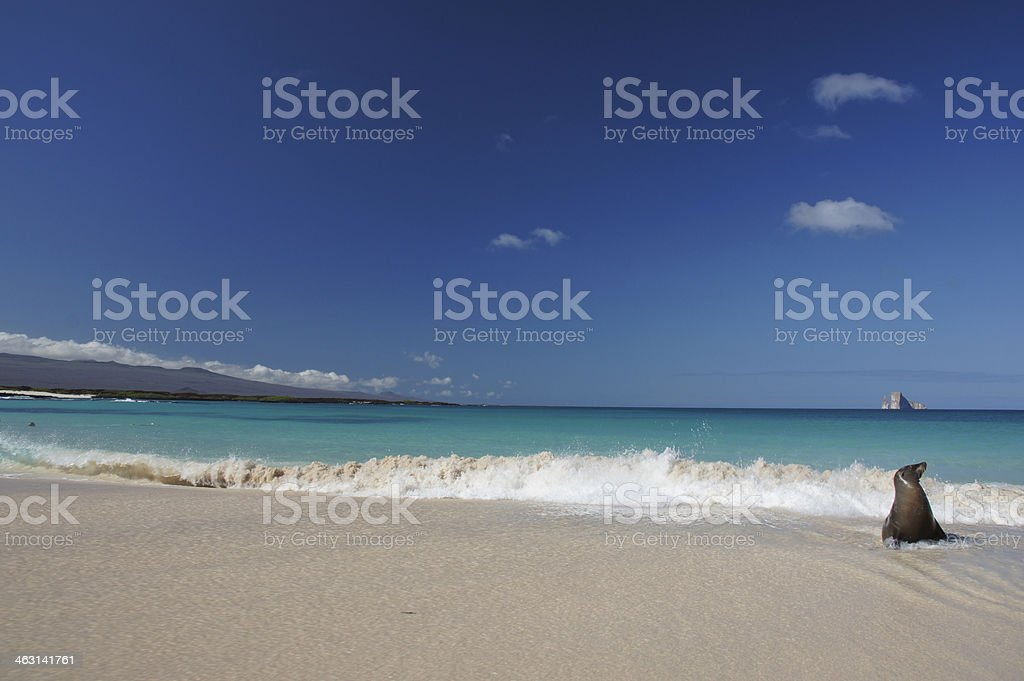 Sea Lion on the beach stock photo