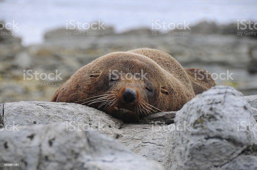 Leão-marinho foto royalty-free