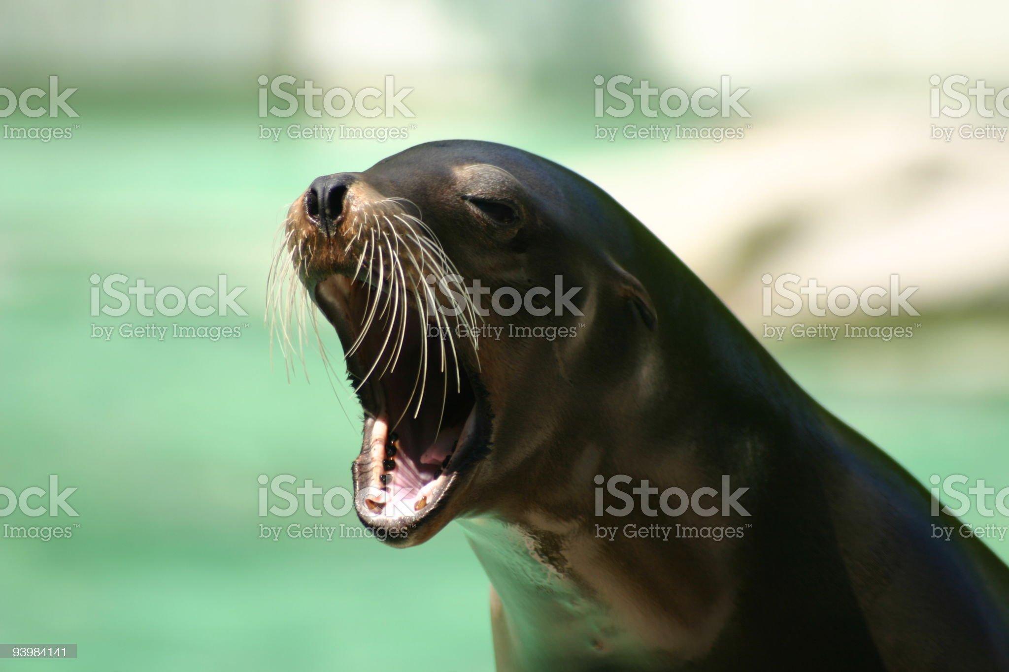 sea lion royalty-free stock photo
