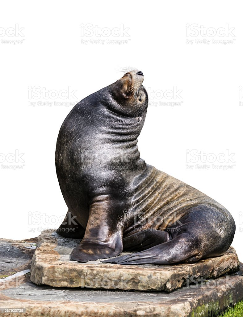 Sea lion portrait stock photo