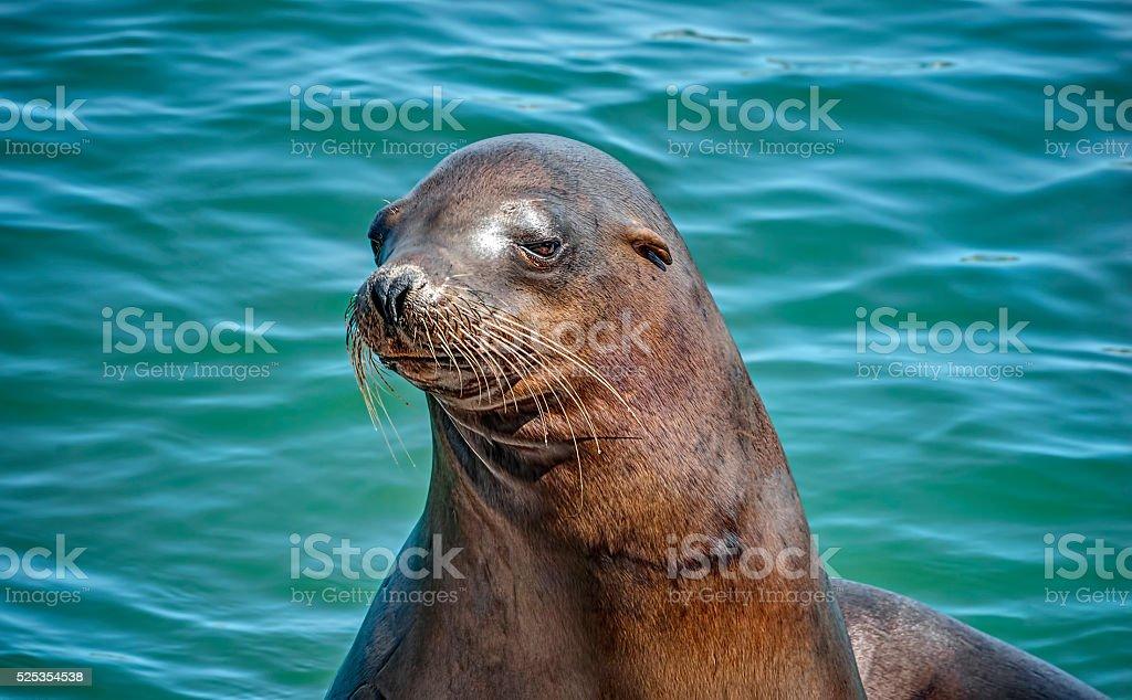 Sea Lion Poses against Turquoise California Ocean stock photo