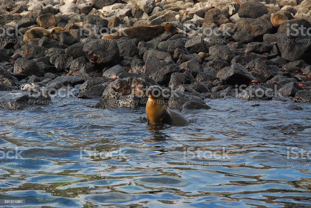 Sea Lion Posing in the Water Off South Plaza Island royalty-free stock photo