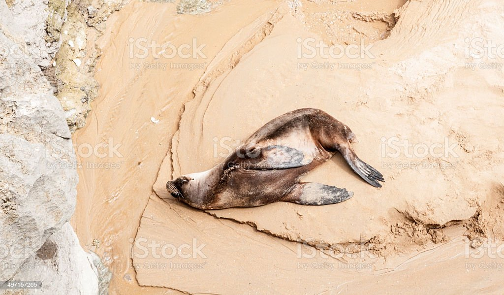 Sea lion resting on a sandy beach stock photo