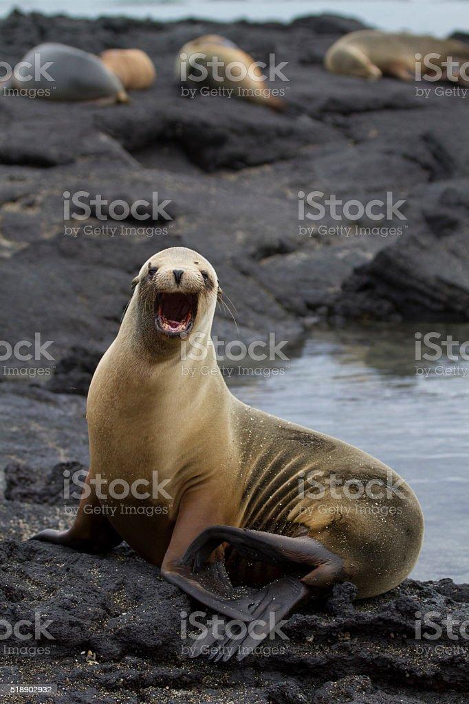 Sea lion roar stock photo