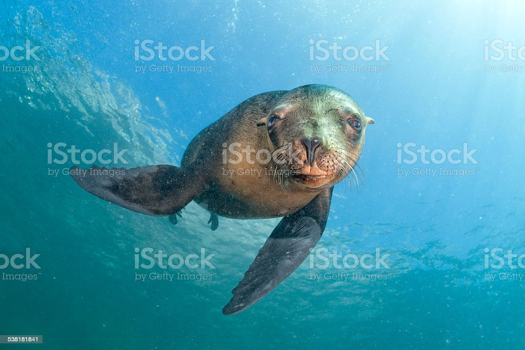 sea lion seal coming to you underwater stock photo