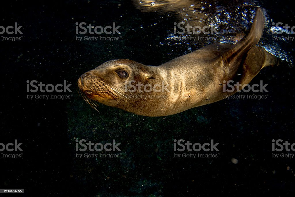 sea lion seal underwater while diving galapagos stock photo