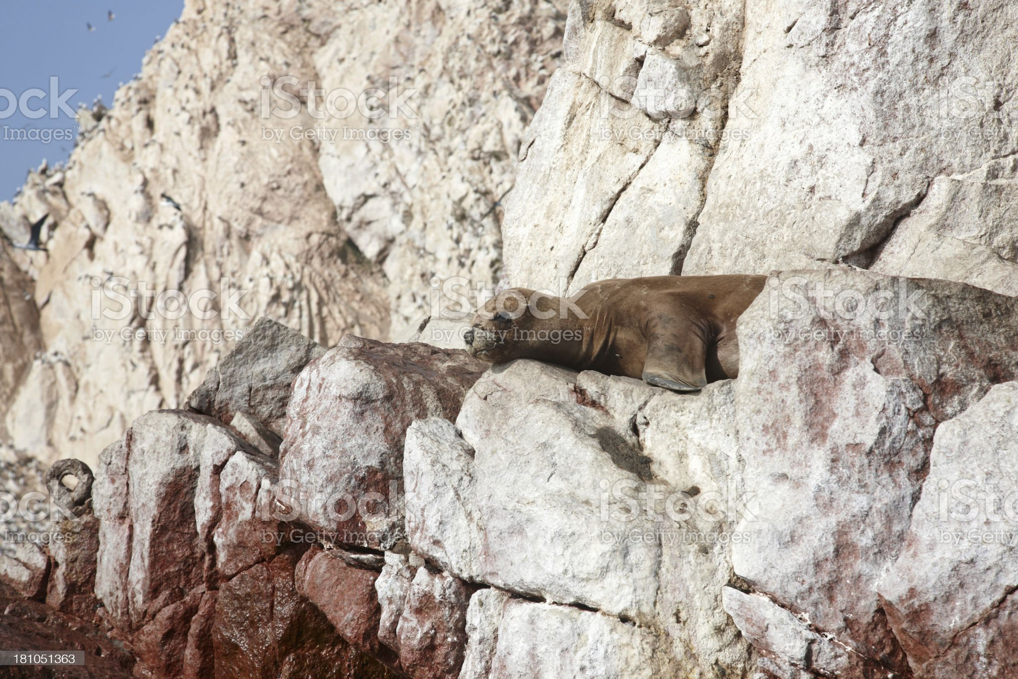 Sea lion sitting on a rock royalty-free stock photo