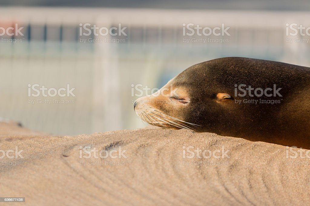 Sea lion sleeping and sunbathe on large stone stock photo