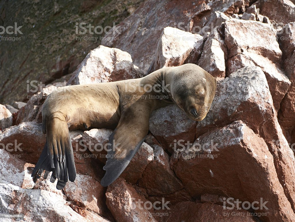 Sea lion sleeping on a rock royalty-free stock photo