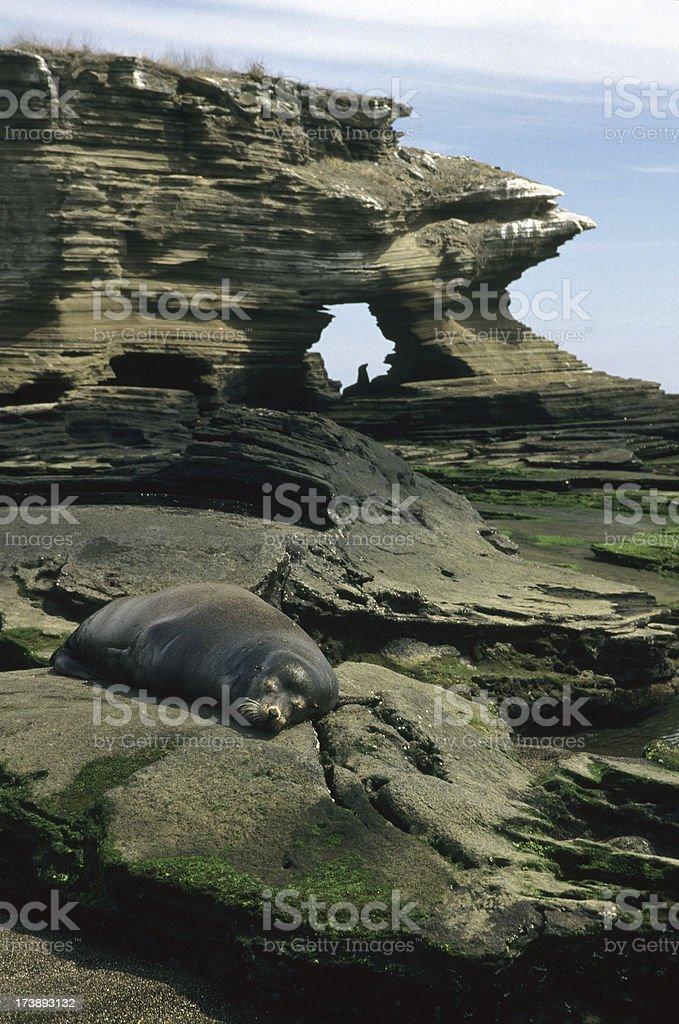 Sea Lion Sunning on Isla Santiago, Galápagos stock photo