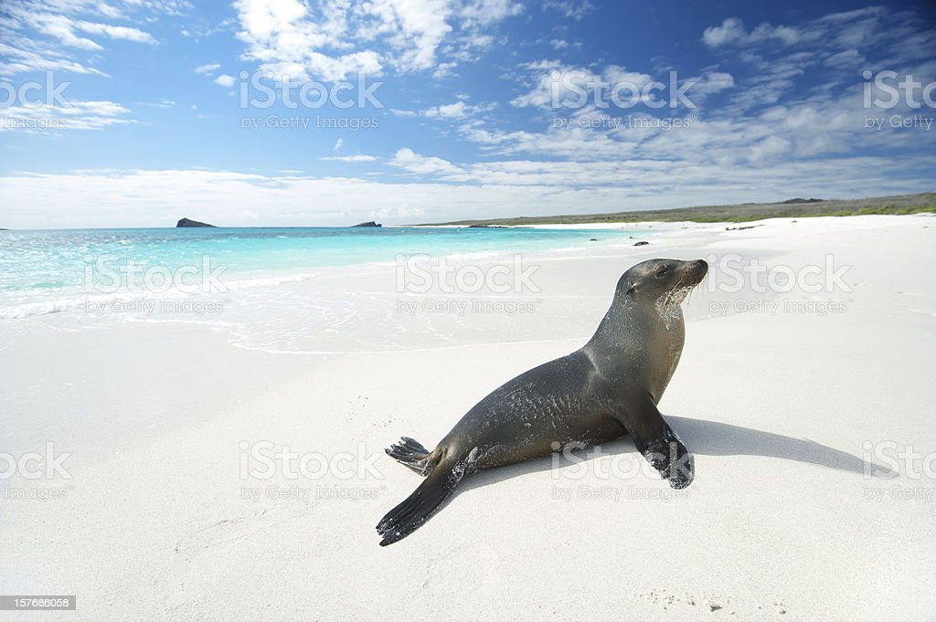 Sea Lion Suns Himself on Bright White Beach stock photo