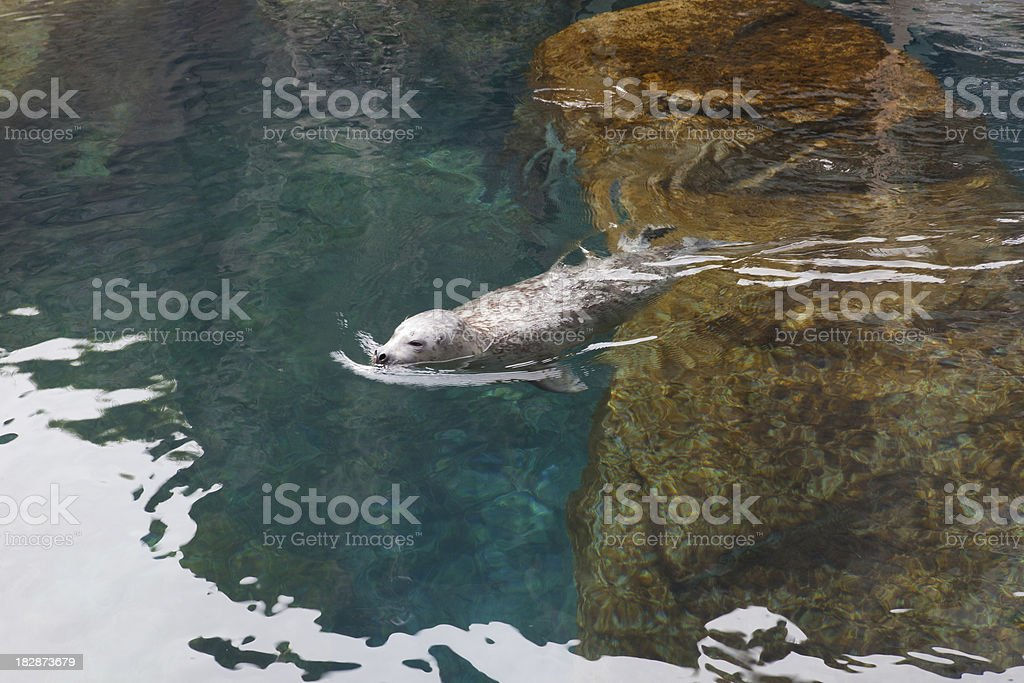 Sea lion swiming in a pool..Seward,Alaska sealife center stock photo