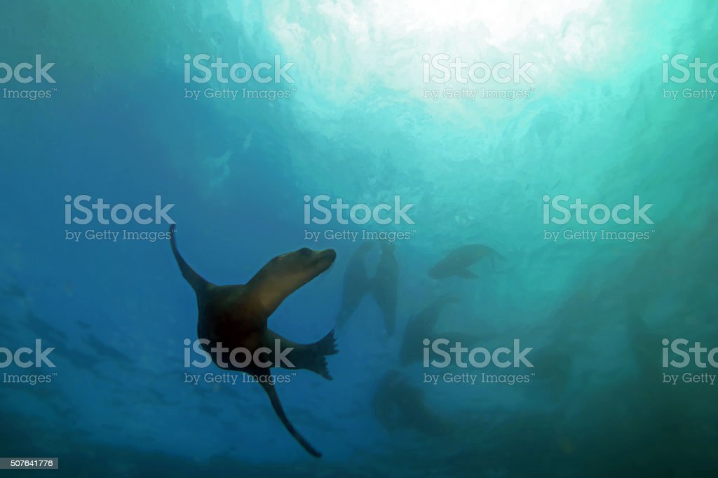 Sea lion swimming underwater at Cabo San Lucas stock photo