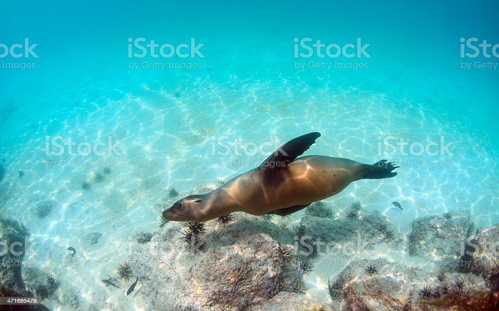 Sea lion swimming underwater royalty-free stock photo
