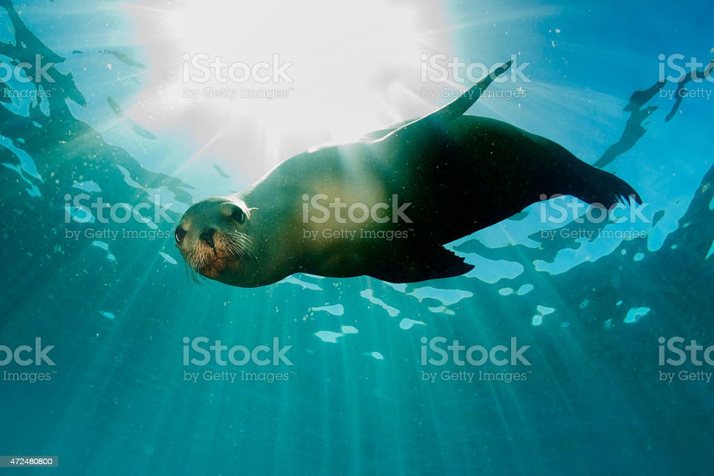 sea lion underwater looking at you stock photo