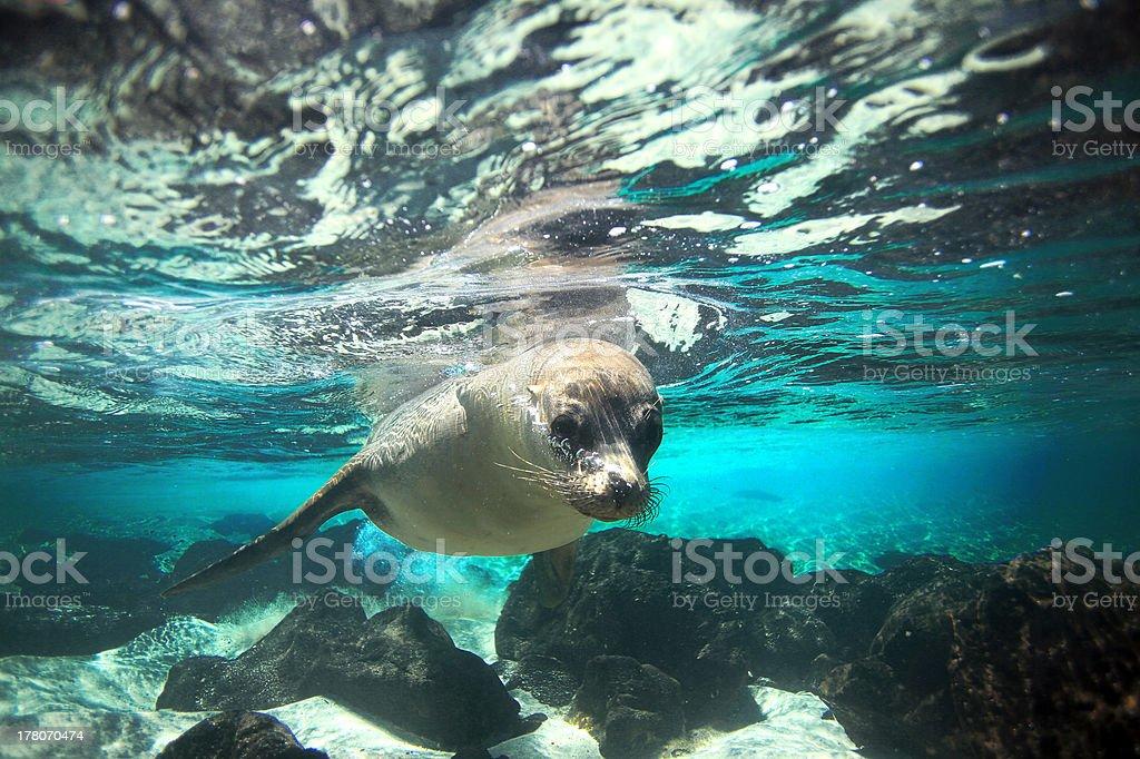 Sea lion underwater stock photo