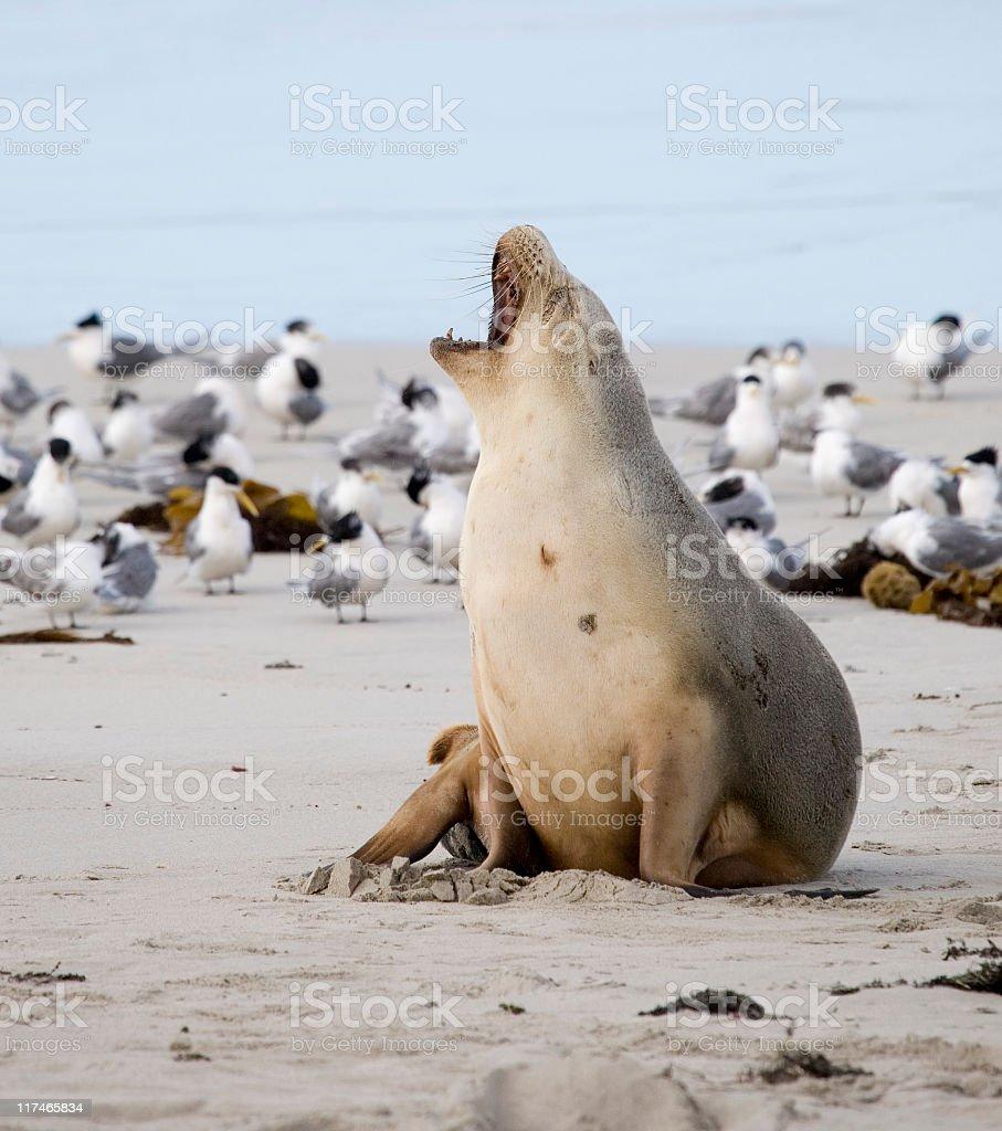 Sea lion yawning among seagulls on a beach stock photo