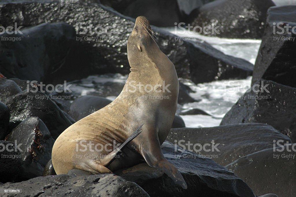 sea lion, Zalophus californianus wollebacki stock photo