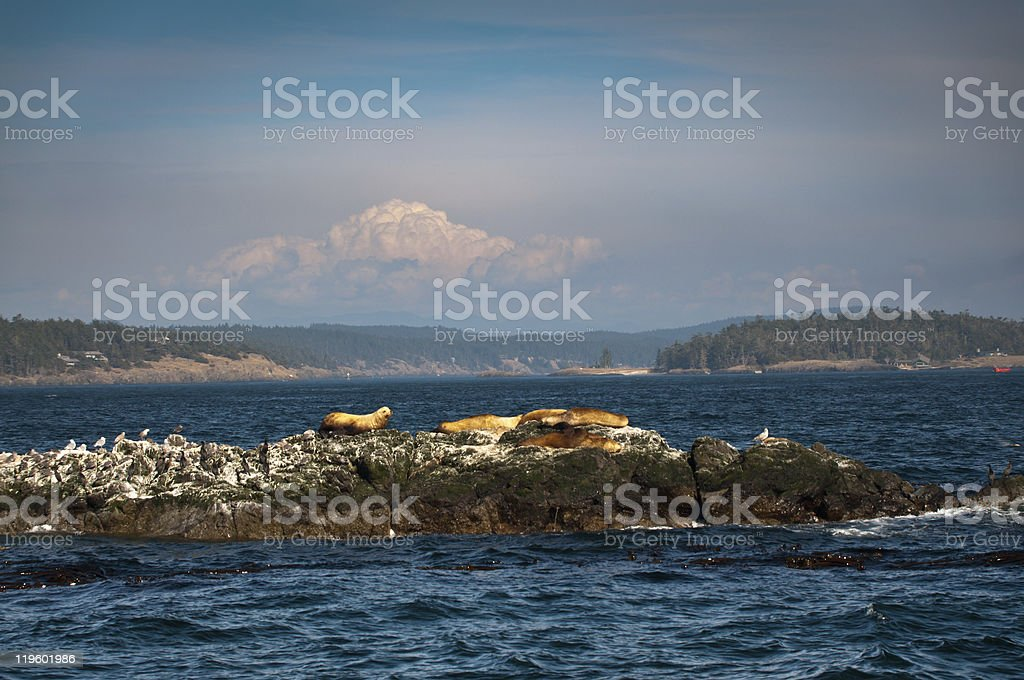 Sea lions and birds on an islet in Puget sound royalty-free stock photo