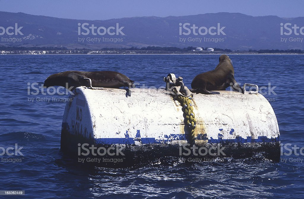 sea lions and oil stock photo