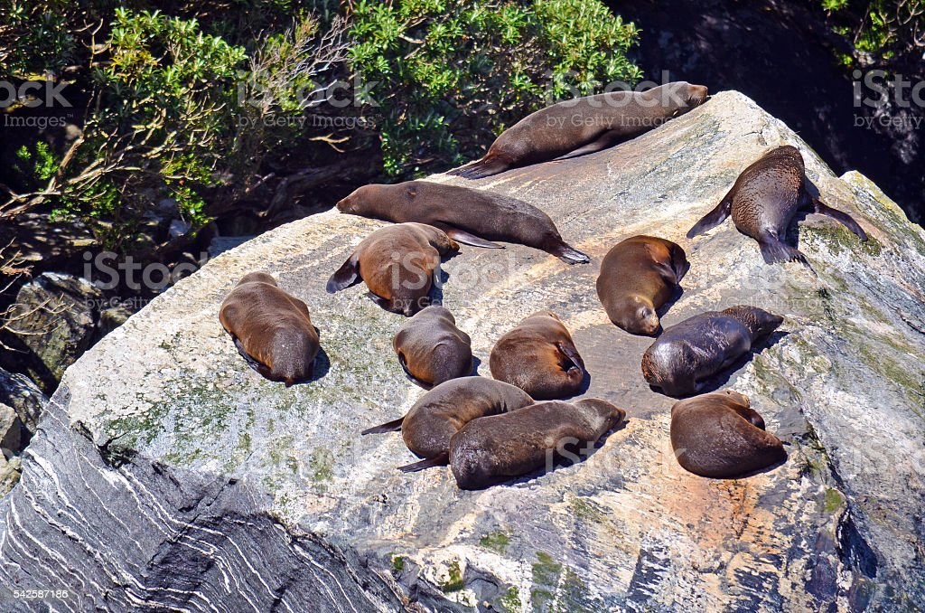 Sea lions basking on a rock stock photo