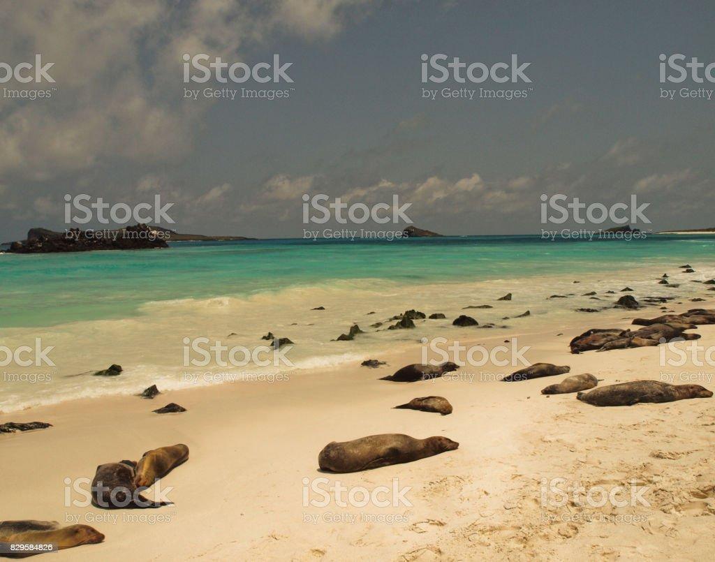 Sea Lions - Beach stock photo