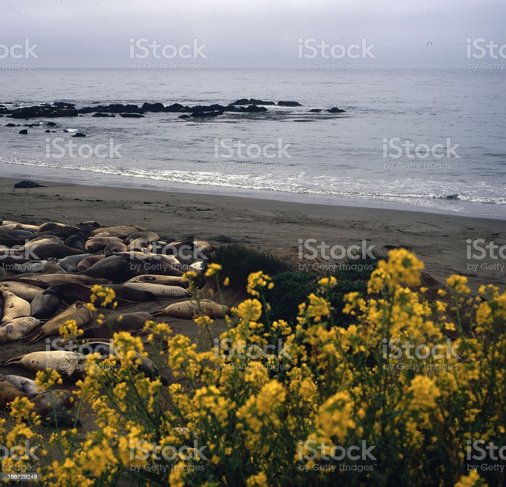 Sea lions behind flowers royalty-free stock photo