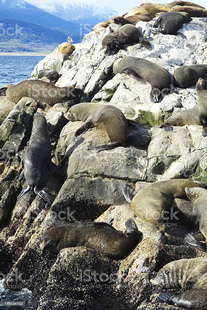 Sea Lions Colony in the Beagle Channel royalty-free stock photo