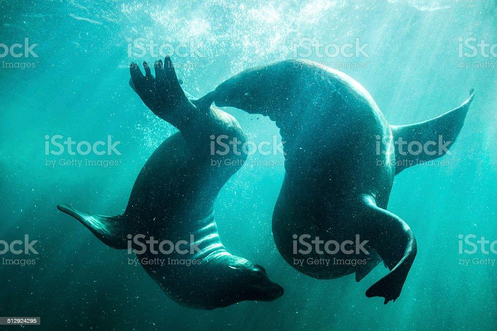 Sea lions courtship - underwater ballet. stock photo