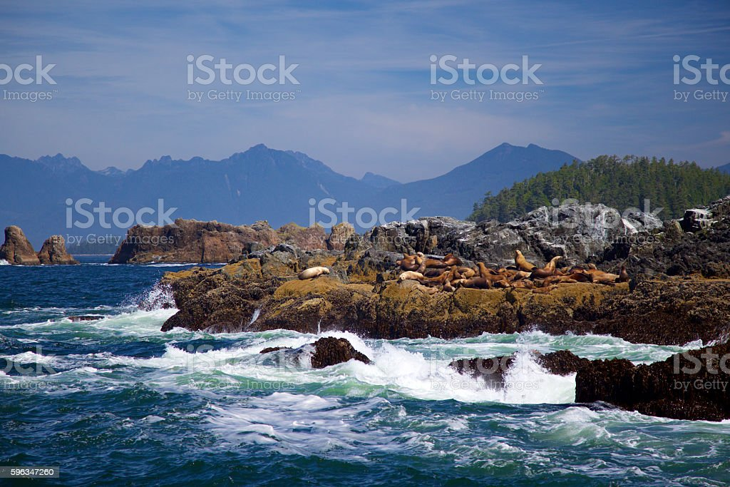 Sea Lions In The Broken Group Islands stock photo