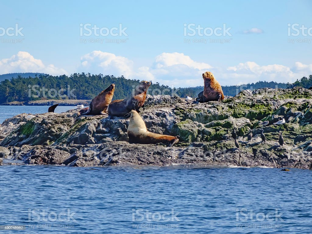 Sea lions in the Pacific Northwest stock photo