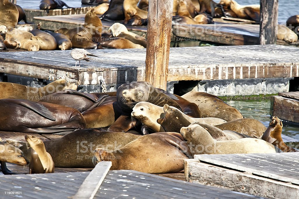 Sea Lions near Pier 39 in San Francisco royalty-free stock photo