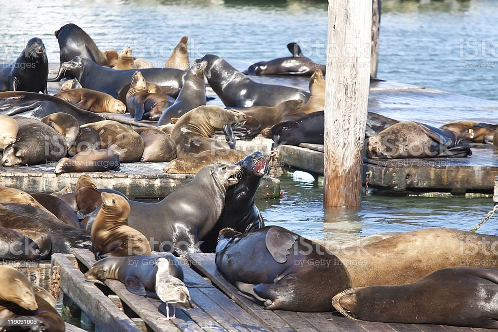 Sea Lions near Pier 39 in San Francisco royalty-free stock photo