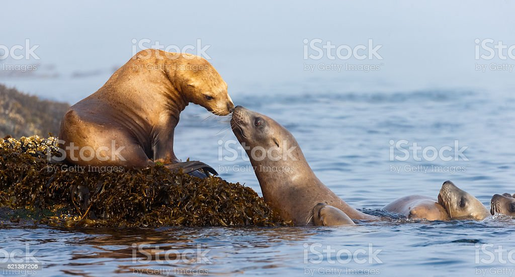 Sea Lions Nuzzling stock photo