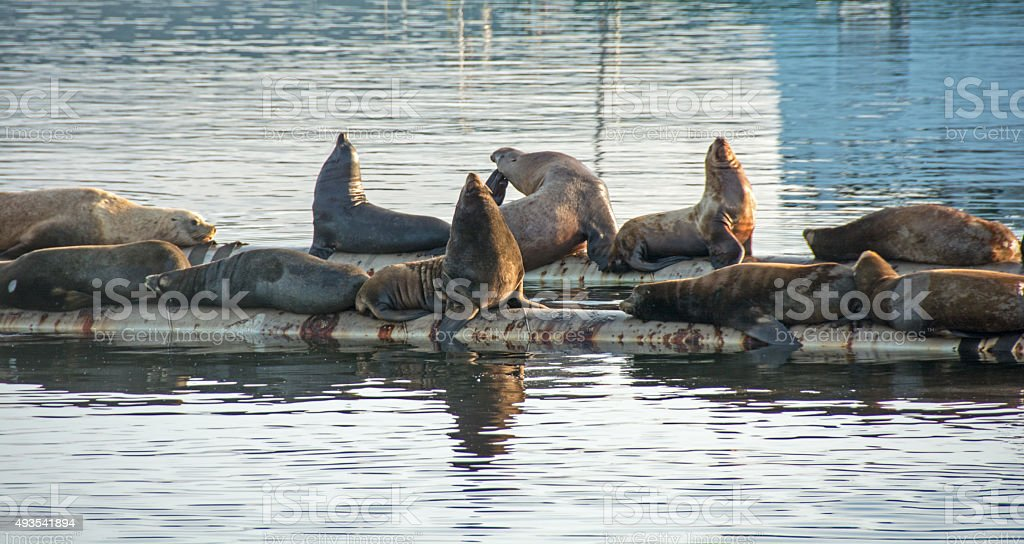Sea Lions  on a Vancouver Island barge in Fanny Bay stock photo