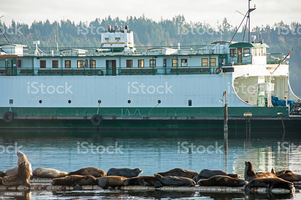 Sea Lions  on a Vancouver Island barge-  old ferry background stock photo