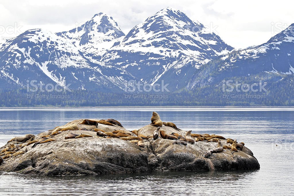 Sea lions on rock with mountain backdrop royalty-free stock photo