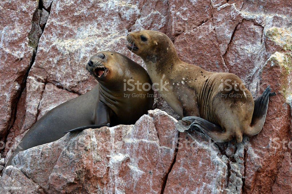 Sea lions on rocks of the Ballestas Islands. Peru. stock photo