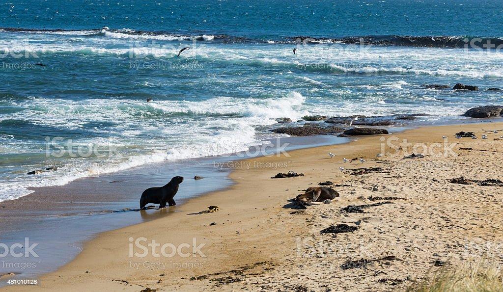 sea lions on the Beach stock photo