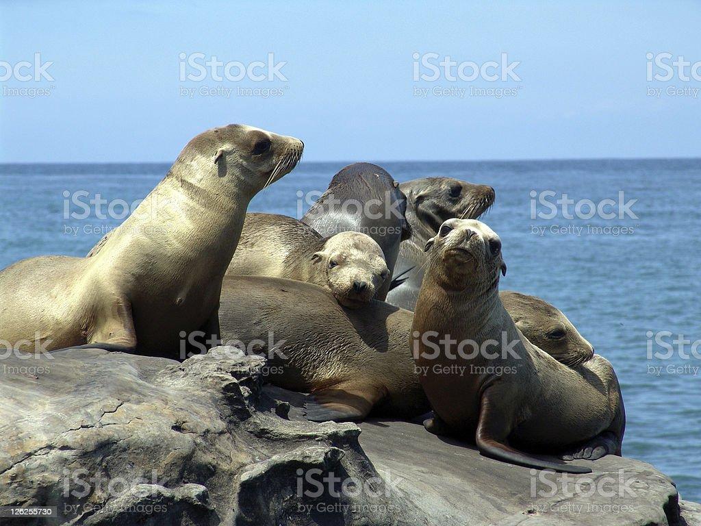 Sea lions royalty-free stock photo